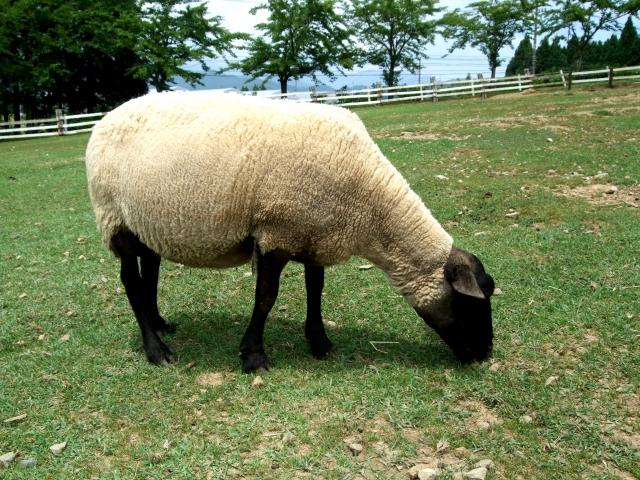 ふるさと納税 羊一頭